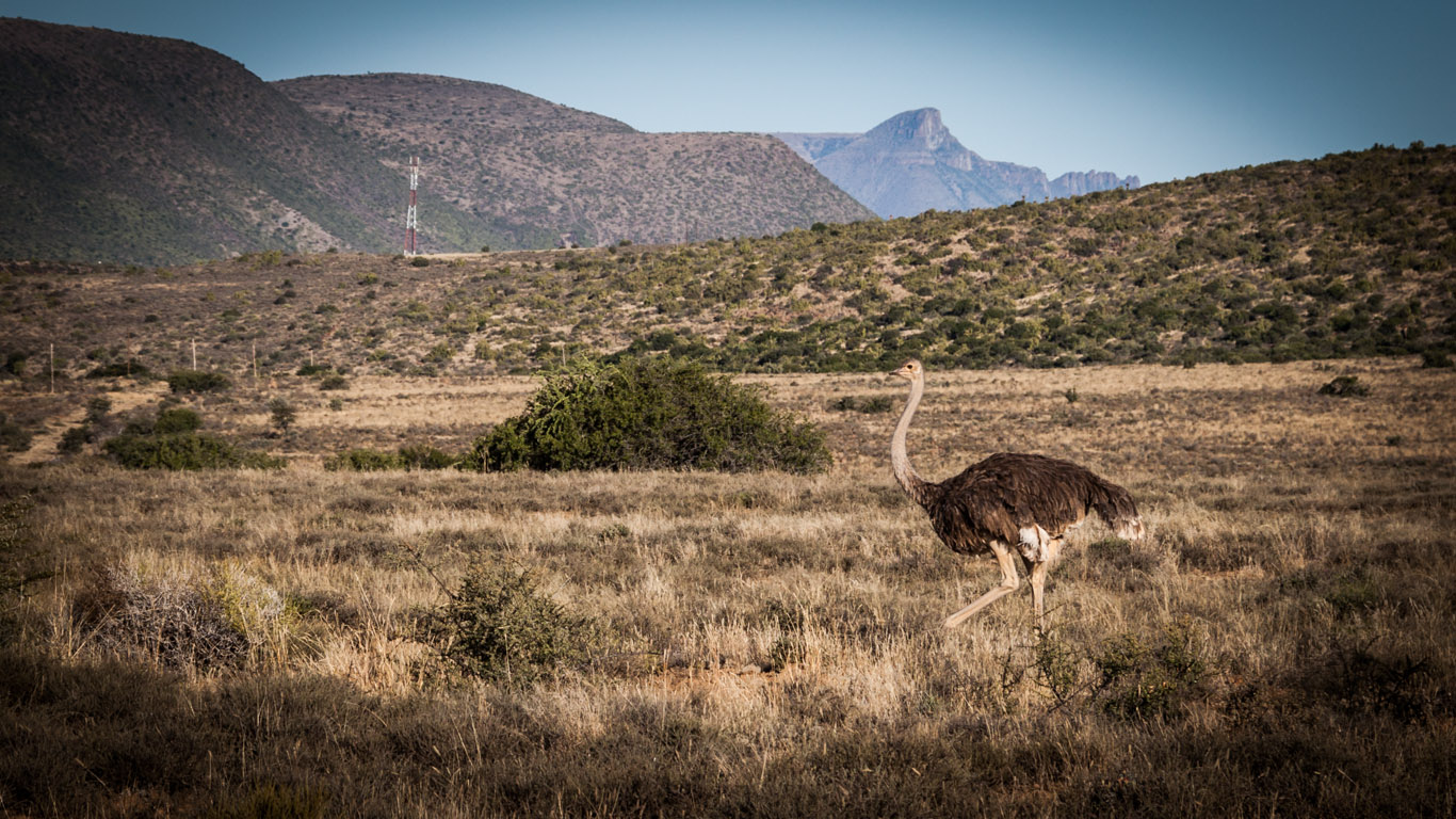Keine Seltenheit in Südafrika. Schmeckt auch gut :)